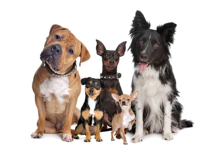 dressage chien comment dresser un chien duquer son chien. Black Bedroom Furniture Sets. Home Design Ideas