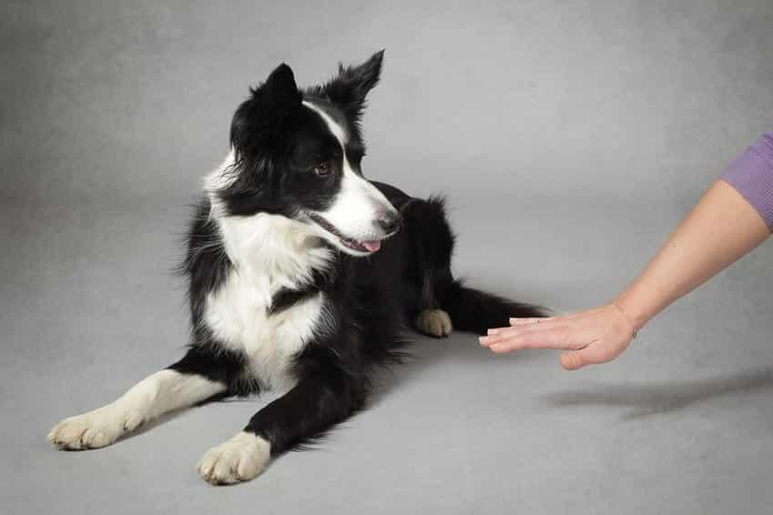 Comment apprendre à son chien à se coucher ? - Dressage Chien