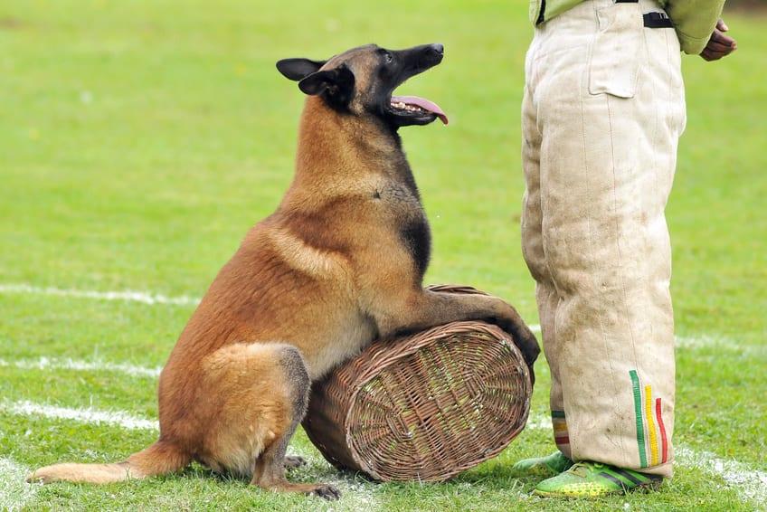 chien de ring