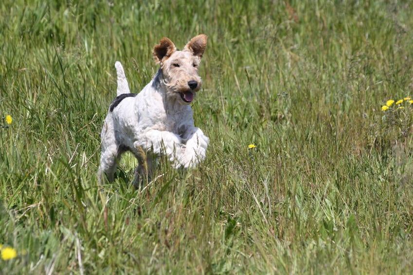 comment apprendre à son chien à venir au pied
