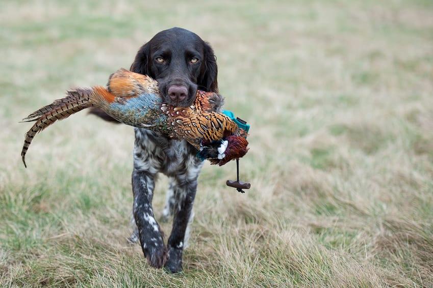 Dresser son chien pour la chasse : conseils et astuces