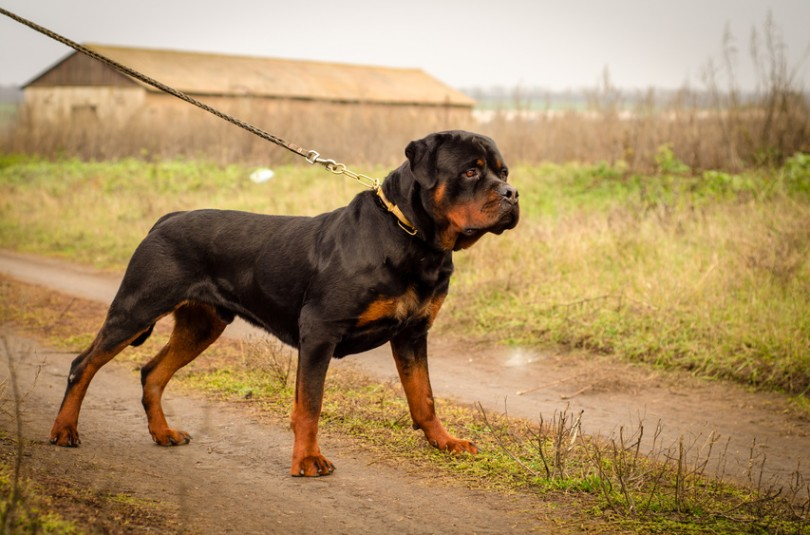 Dresser son chien pour la garde : trucs et astuces pratiques