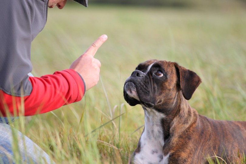 dressage chien 3 ans