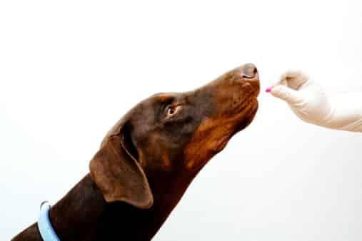 donner comprime chien