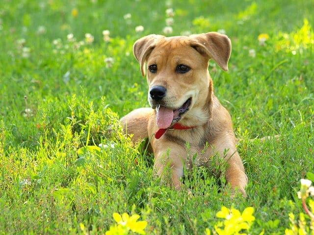 chien-herbe
