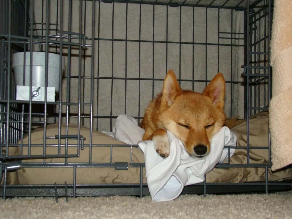 taro shiba dans sa cage