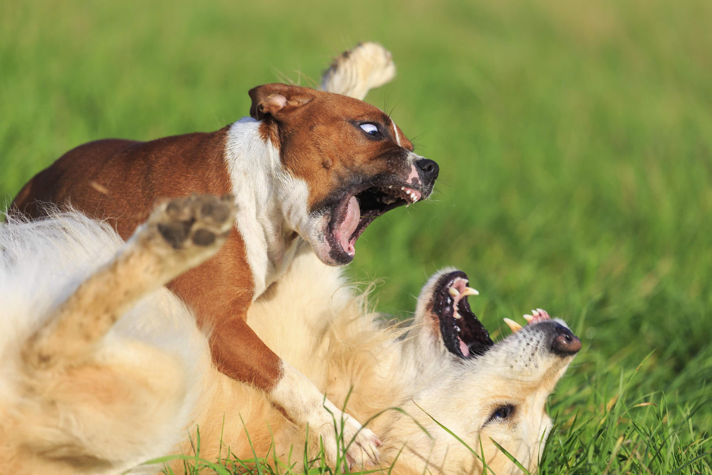 calmer deux chiens qui se bagarrent