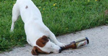 chien boit biere