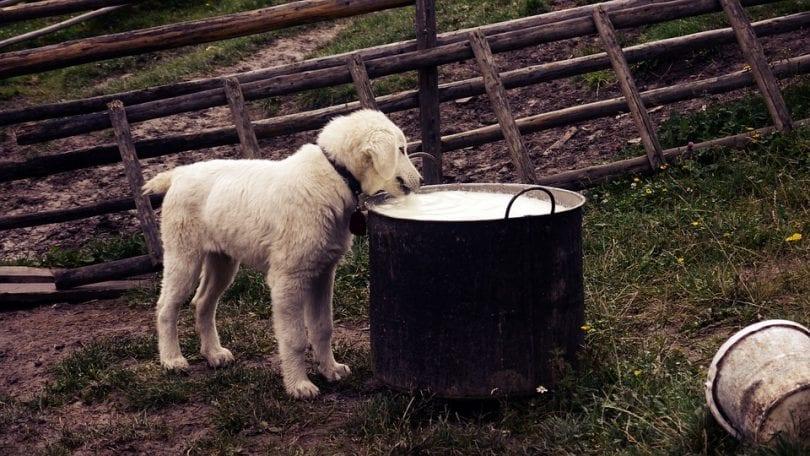 chien-boit-lait