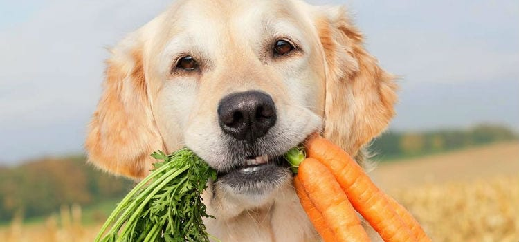 chien mange carotte
