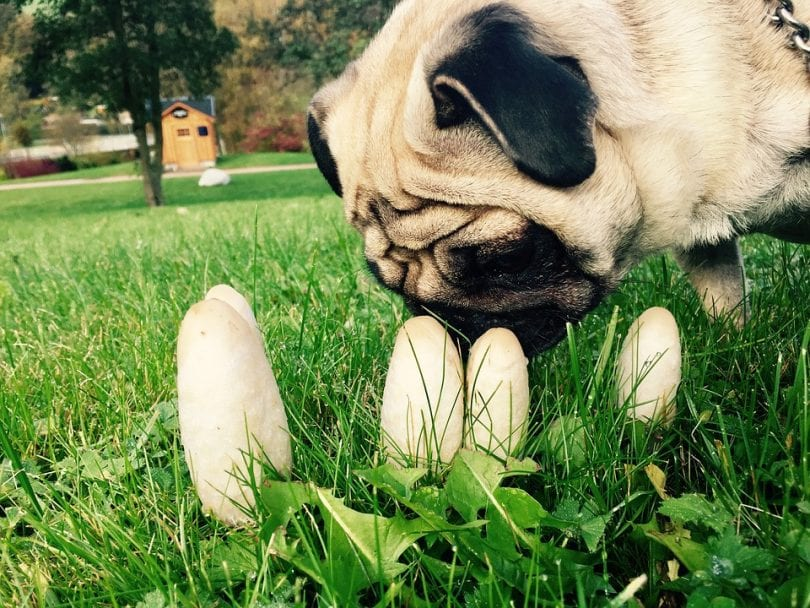 chien-mange-champignons