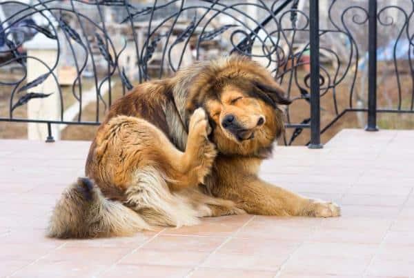 chien qui se gratte beaucoup