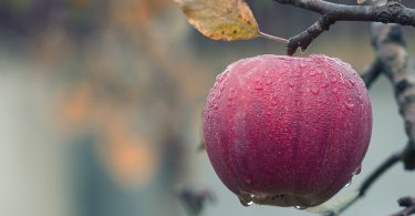 chien-mange-pomme