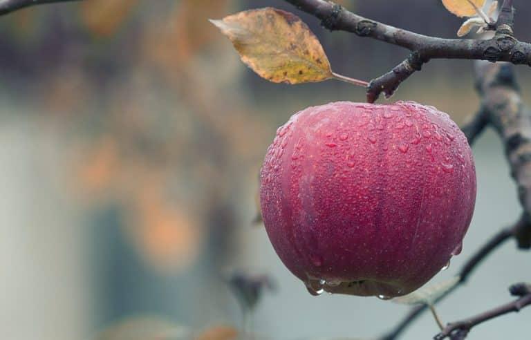 Puis-je donner une pomme à manger à mon chien ? Bienfaits et risques