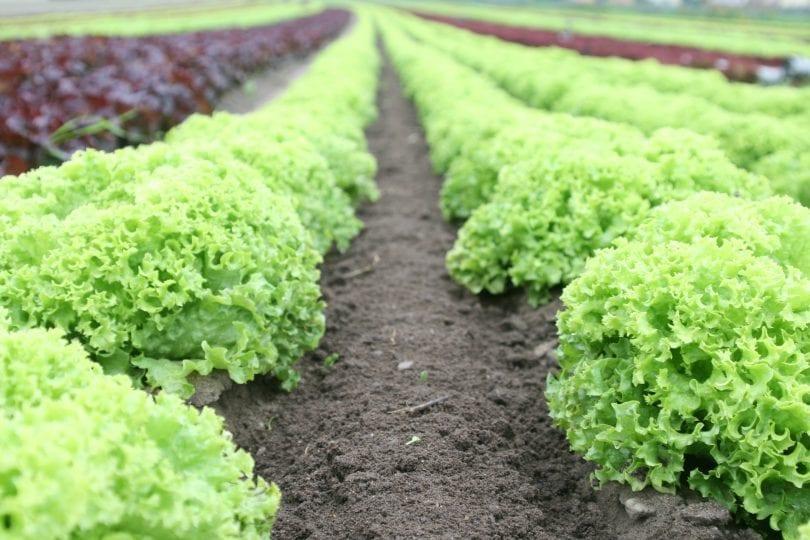 chien-mange-salade