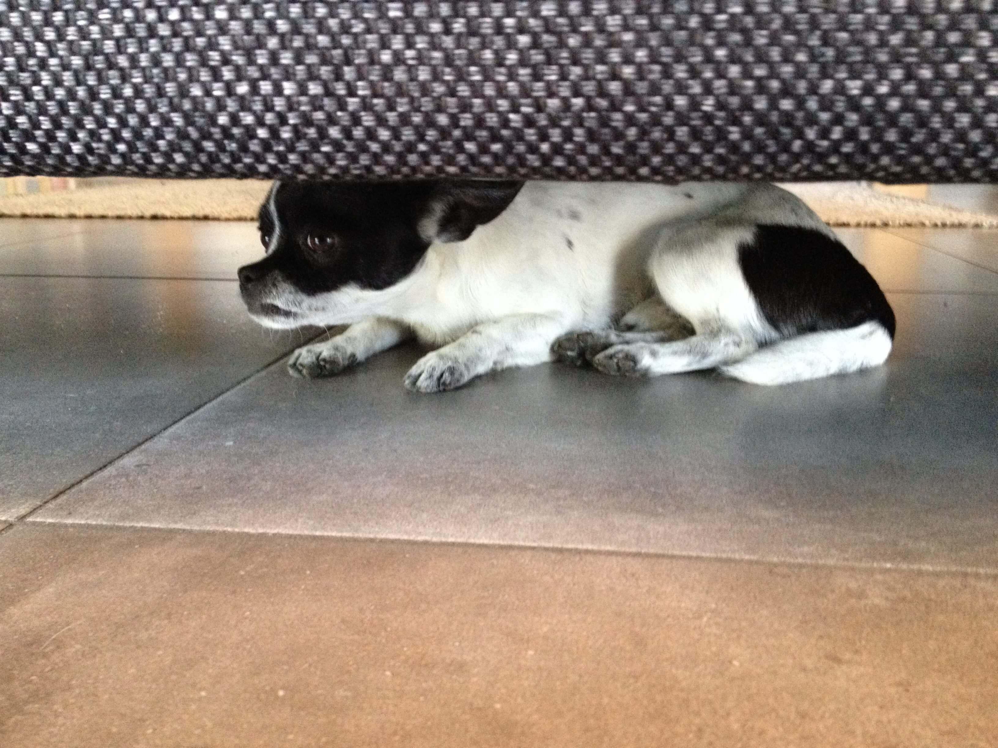 chien se cache sous le canape