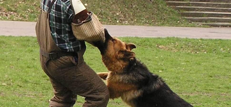 dresser un chien à l'attaque