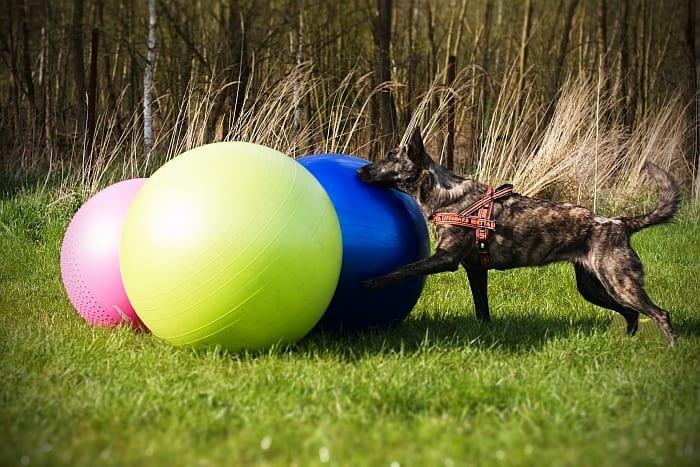 Pratiquer le Treibball avec votre chien : les conseils pour démarrer