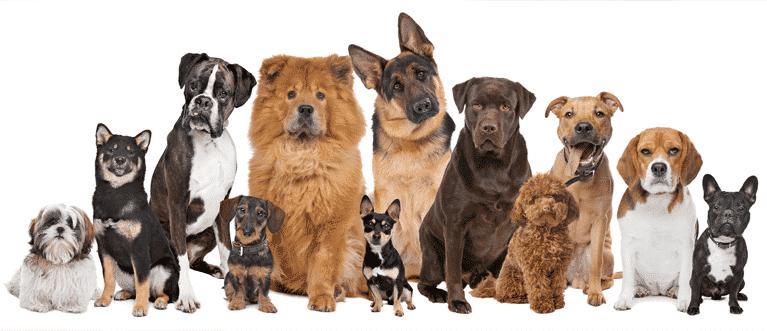 Quelles sont les races de chien les plus faciles à éduquer ?