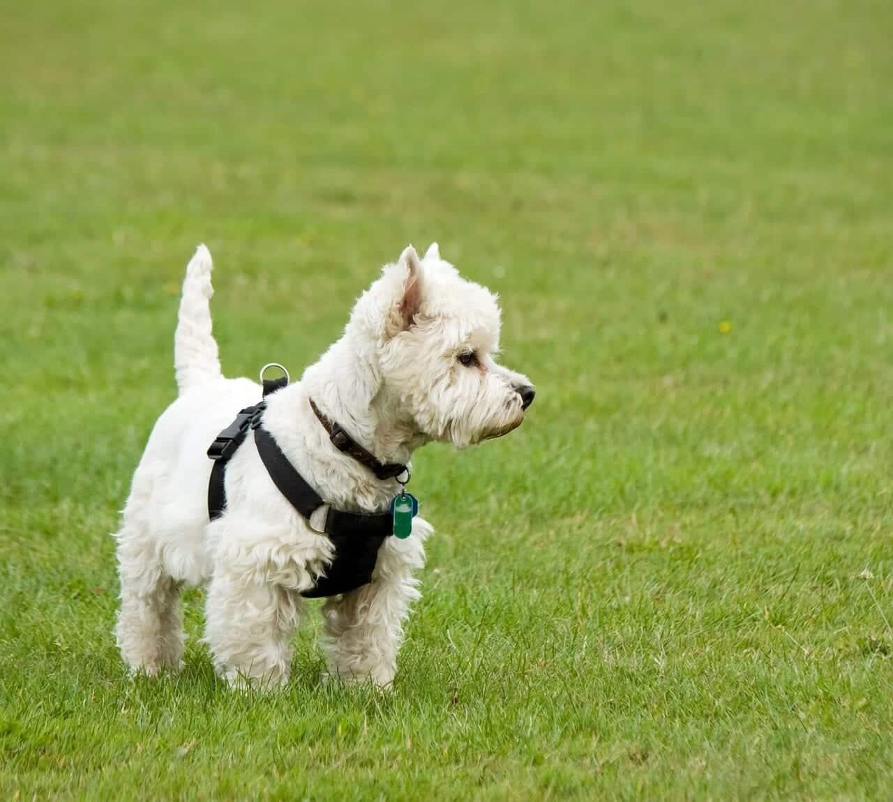 un chien westie