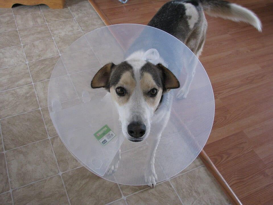Tout savoir sur la castration chimique du chien