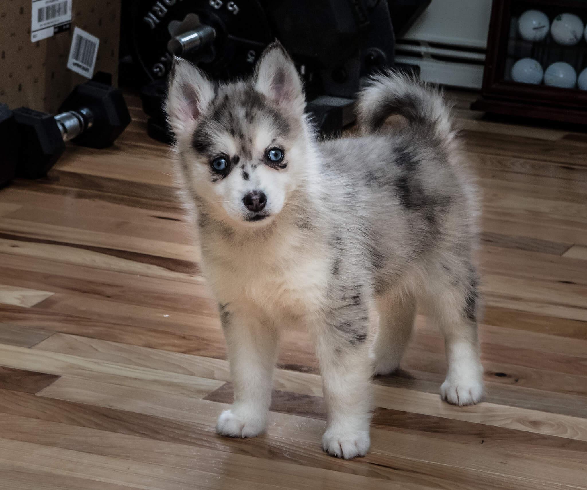 pomsky-chien
