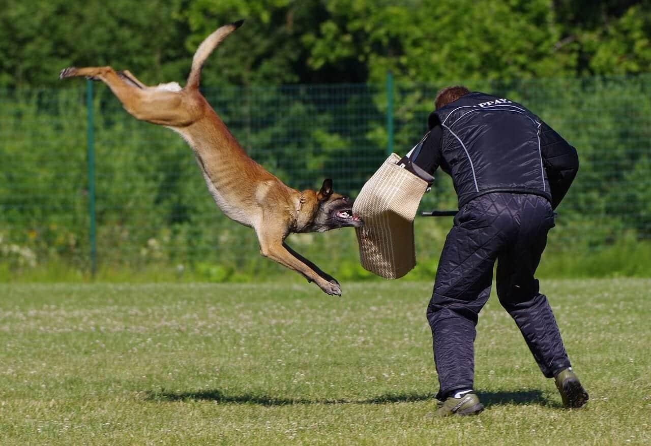 chien de défense malinois