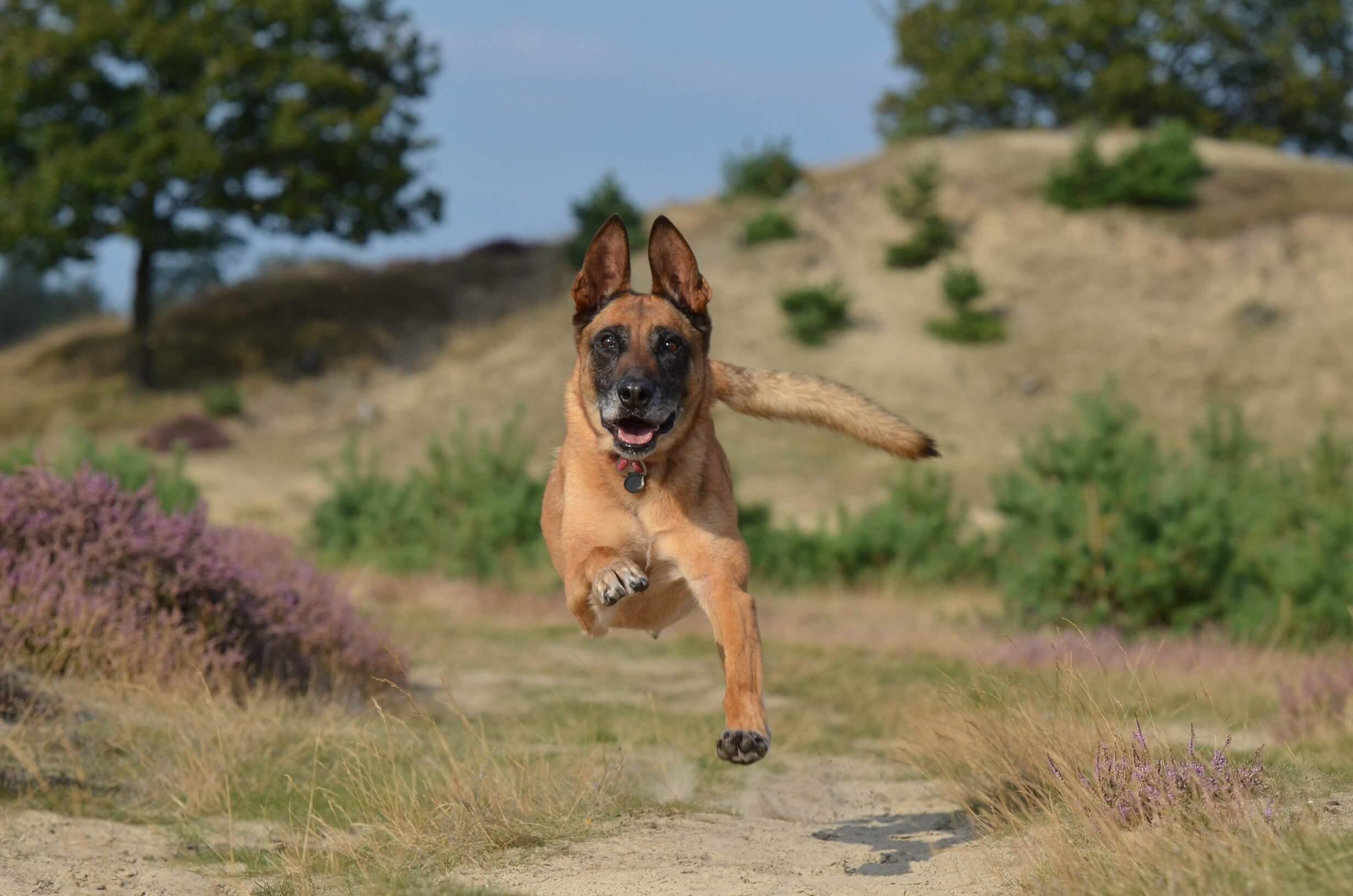 chien de race malinois