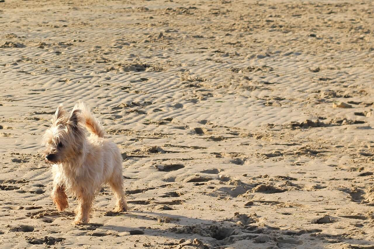 un Cairn Terrier