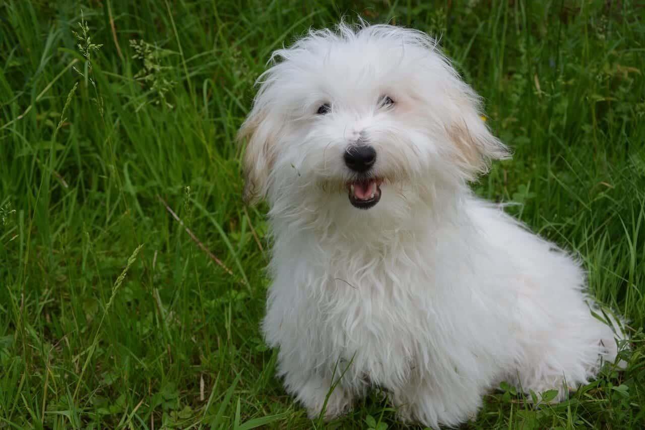 chien Coton de Tuléar
