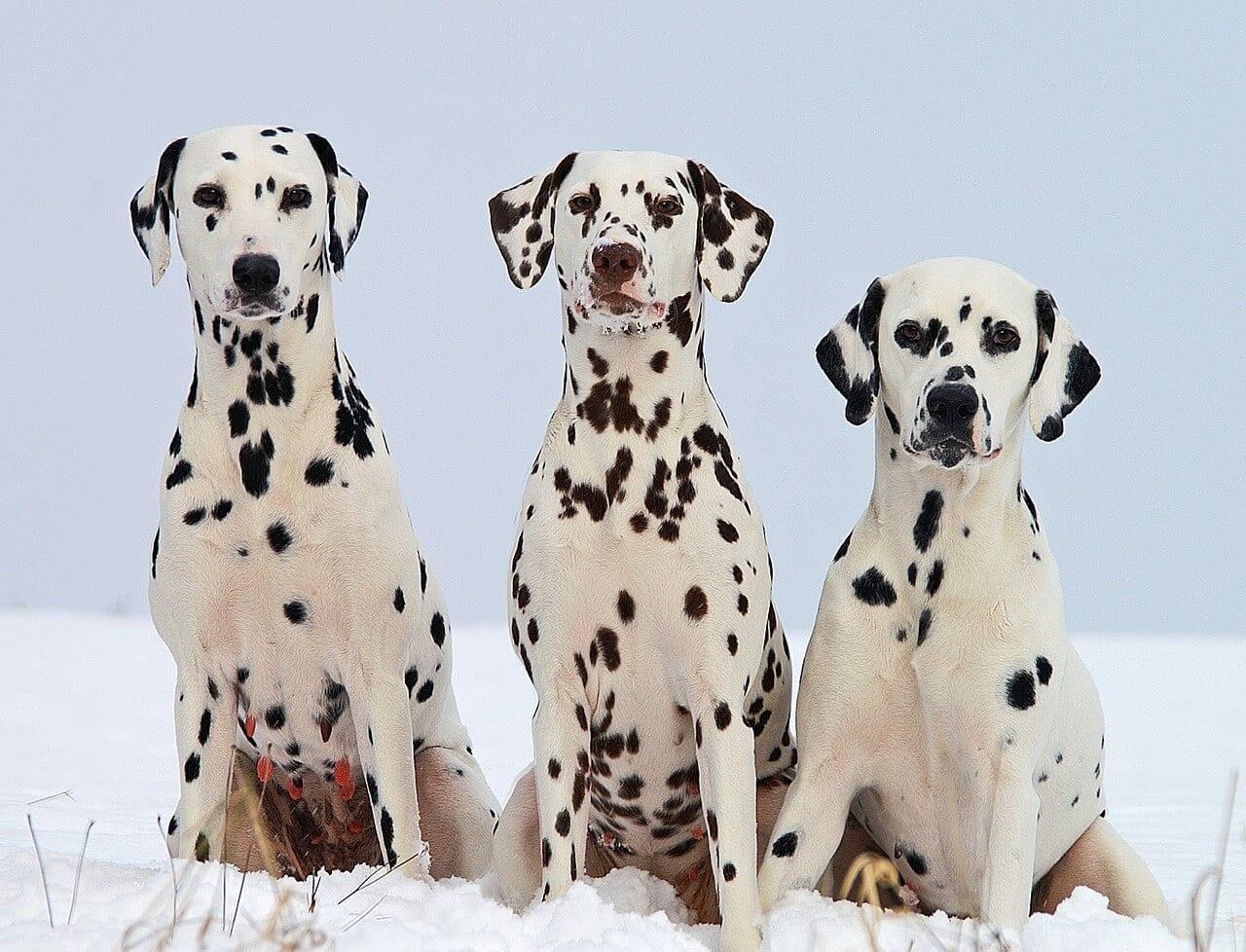 trois chiens dalmatien