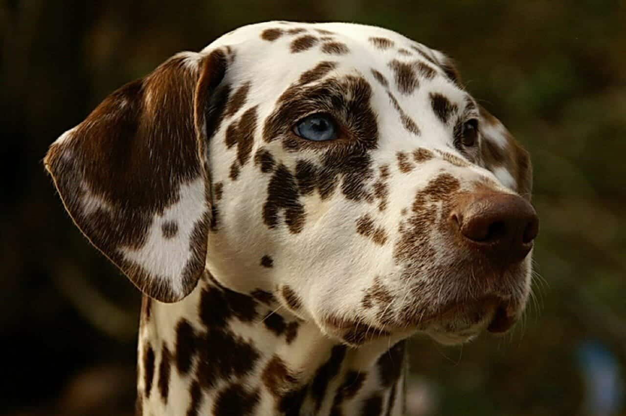 un Dalmatien