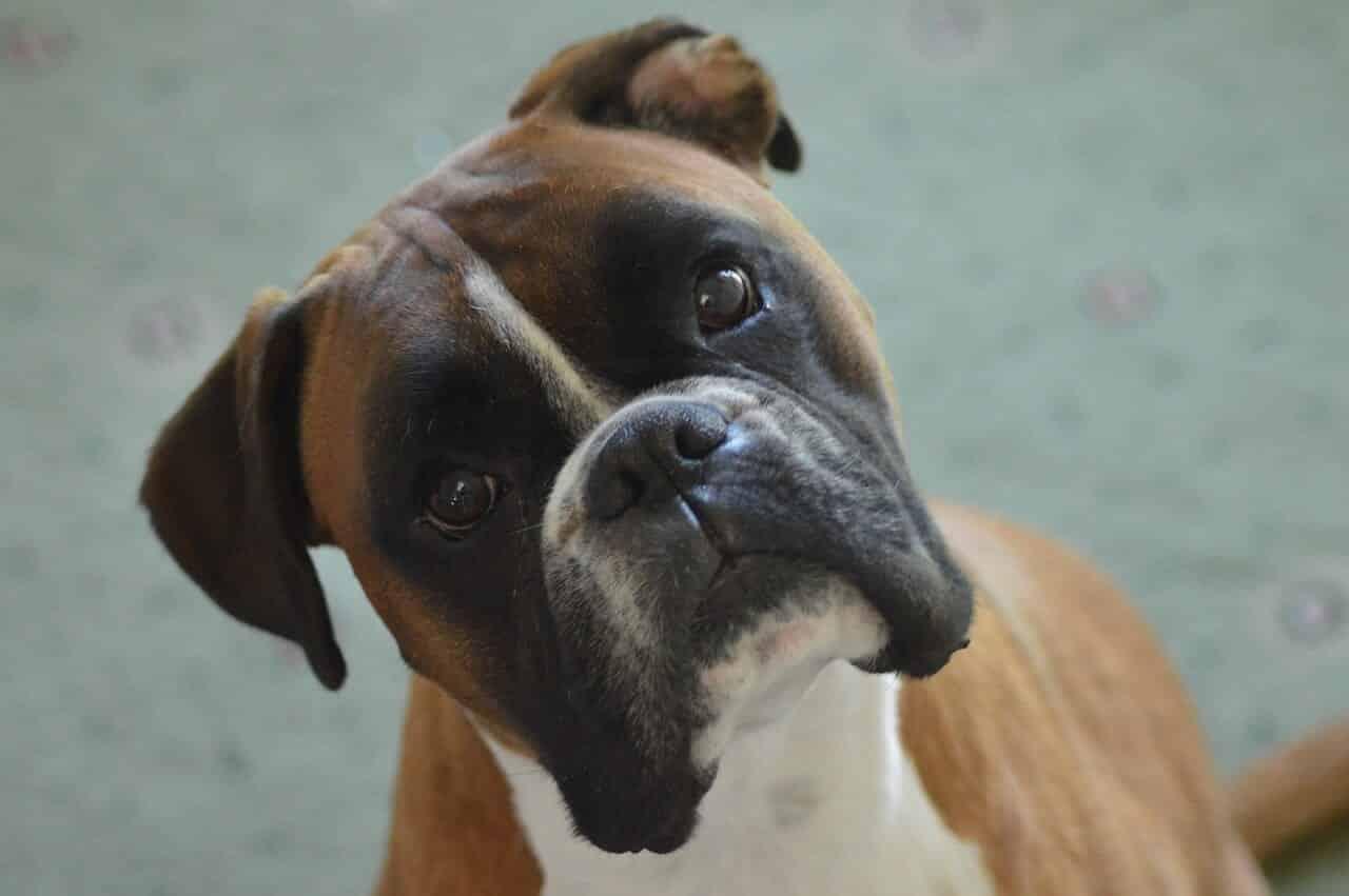 un chien boxer