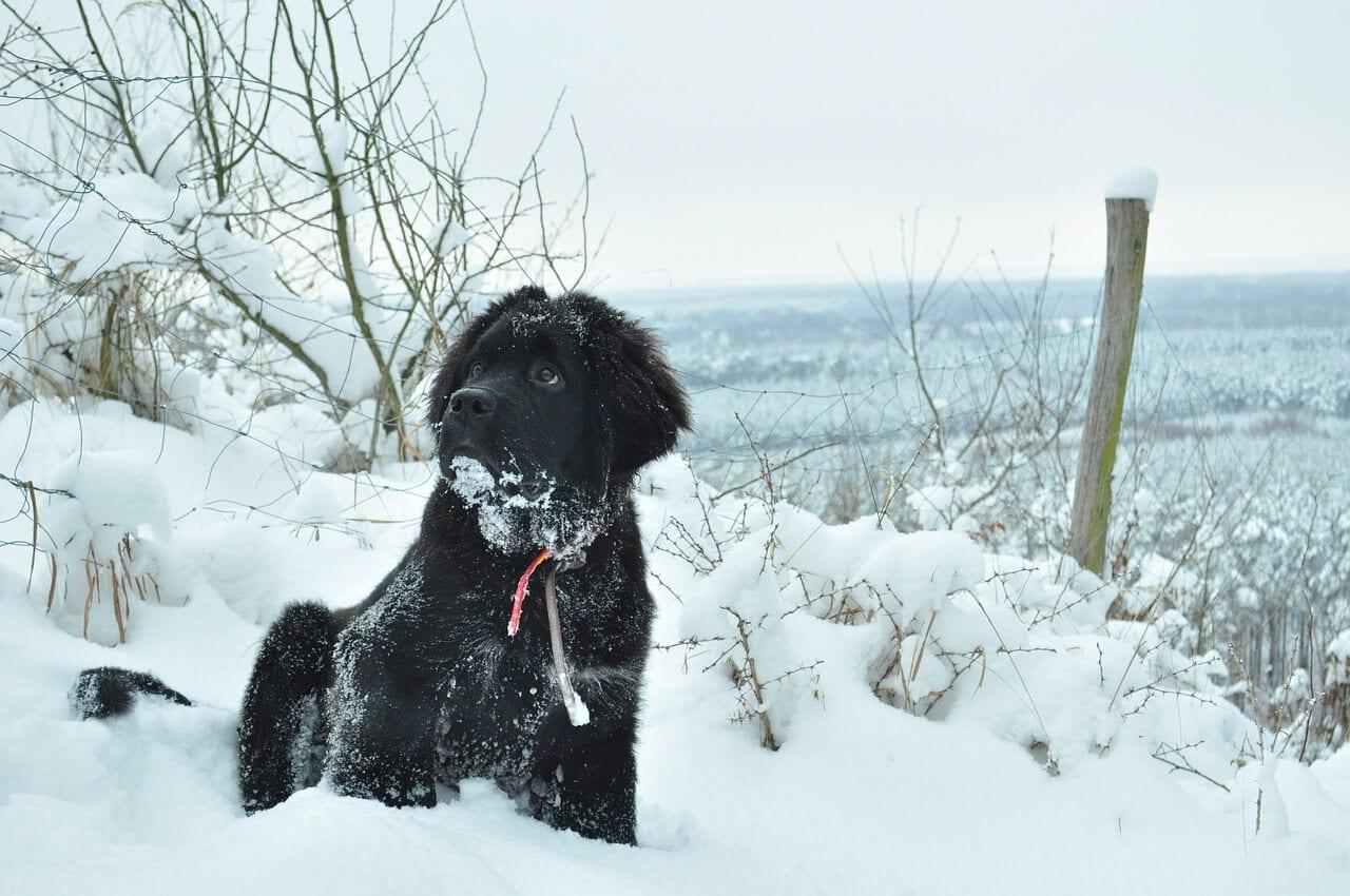 chien terre neuve