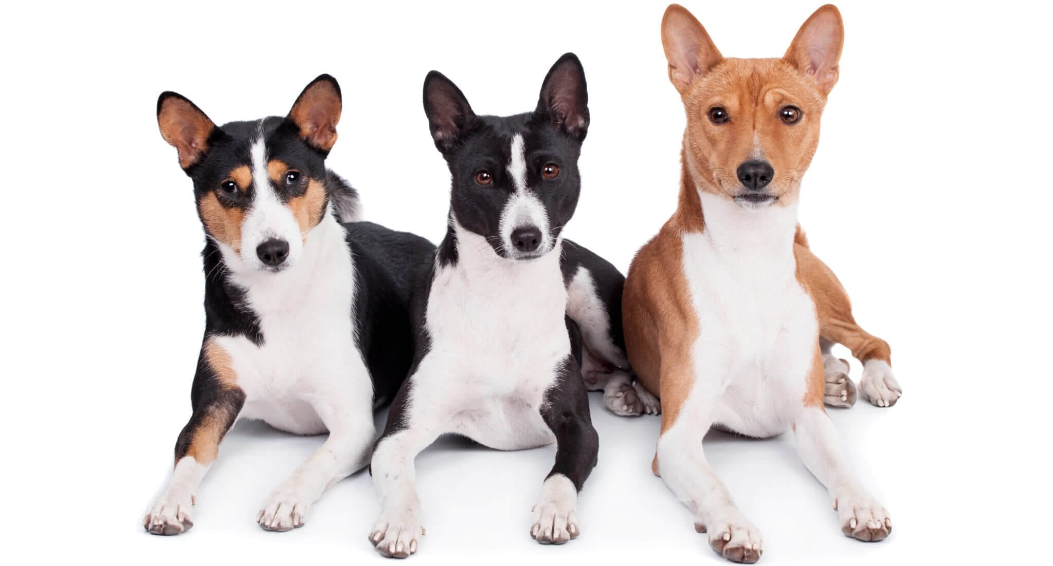 differents types de basenji