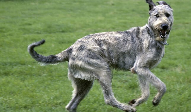 photo irish wolfhound